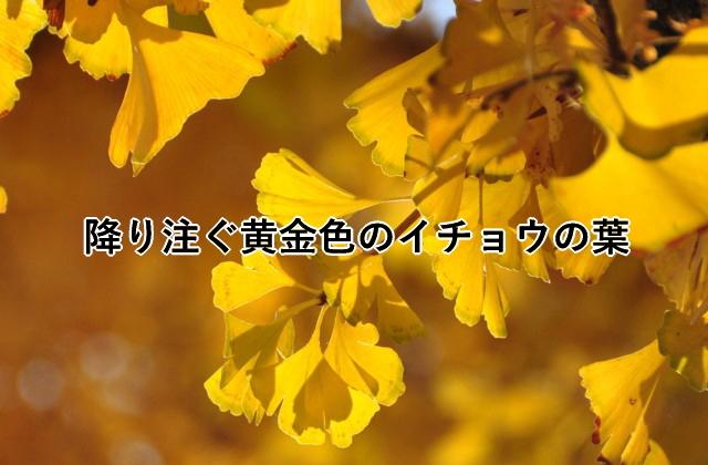 降り注ぐ黄金色のイチョウの葉
