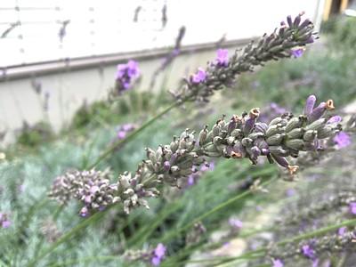自宅ハーブ園のラベンダー花穂