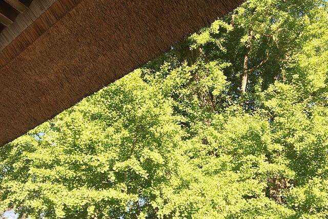 長床の茅葺屋根と大イチョウ