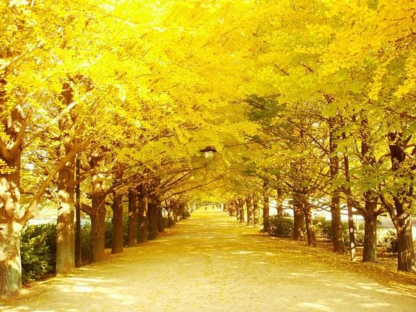 黄金色のイチョウの葉